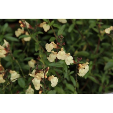 Salvia greggii 'Suncrest Golden Girl'