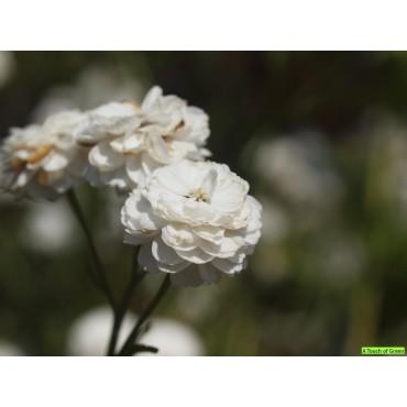 Achillea ptarmica 'The Pearl'