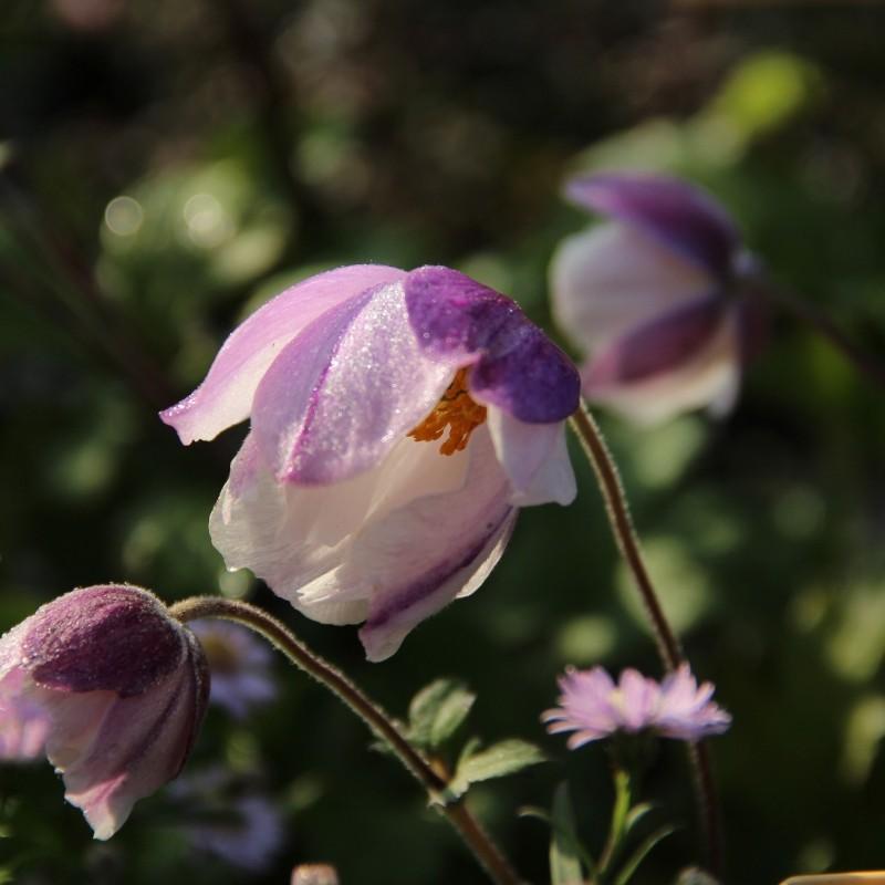 Anemone rupicola 'Dreaming Swan'