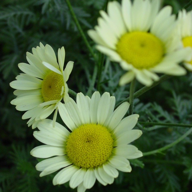Anthemis hybrida 'Sause Hollandaise'