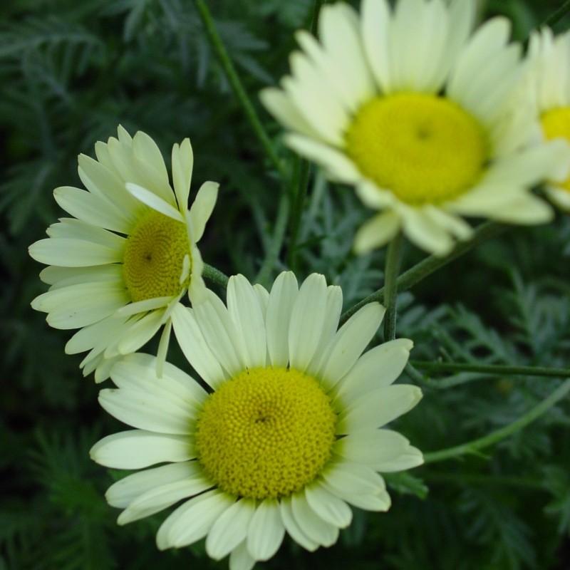 Anthemis hybrida 'Sause Hollandaise'