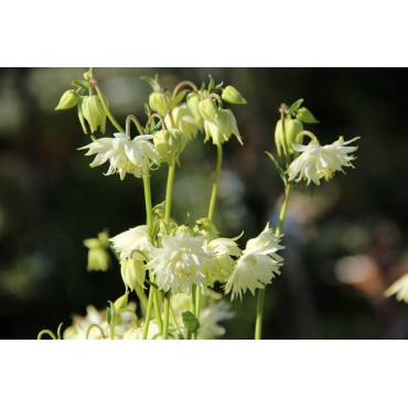 Aquilegia vulgaris 'White Barlow'