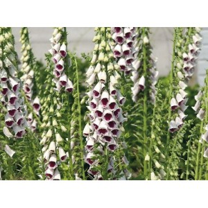 Digitalis purpurea 'Pam's Choice'