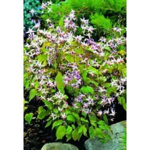 Epimedium grandiflorum 'Pink Elf'