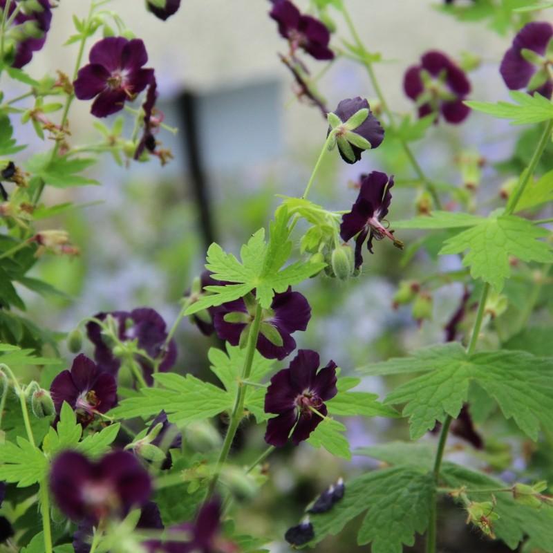 Geranium phaeum 'Raven'