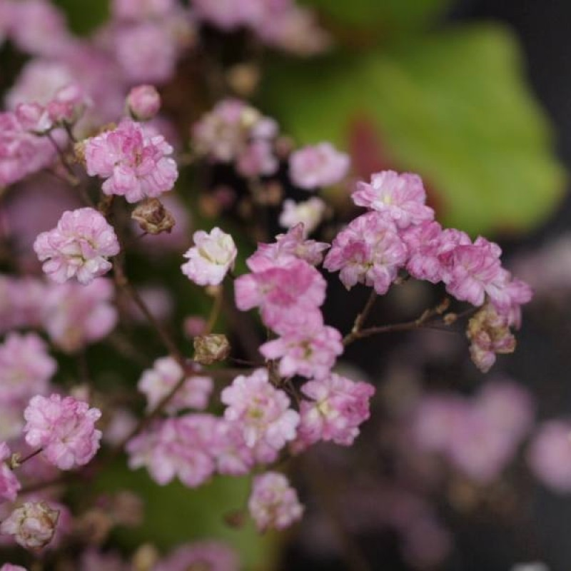 Gypsophila 'My Pink'
