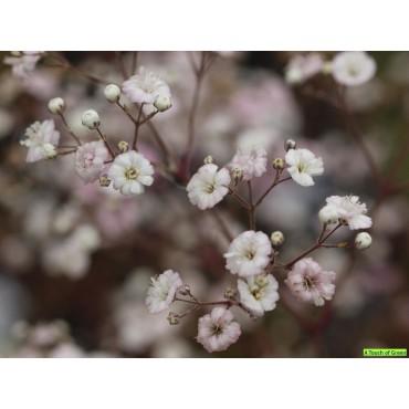 Gypsophila 'New Love'
