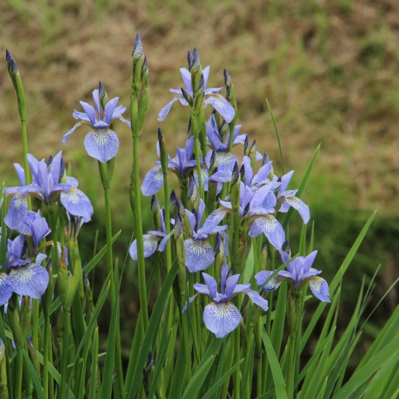 Iris siberica ´Perry´s Blue´