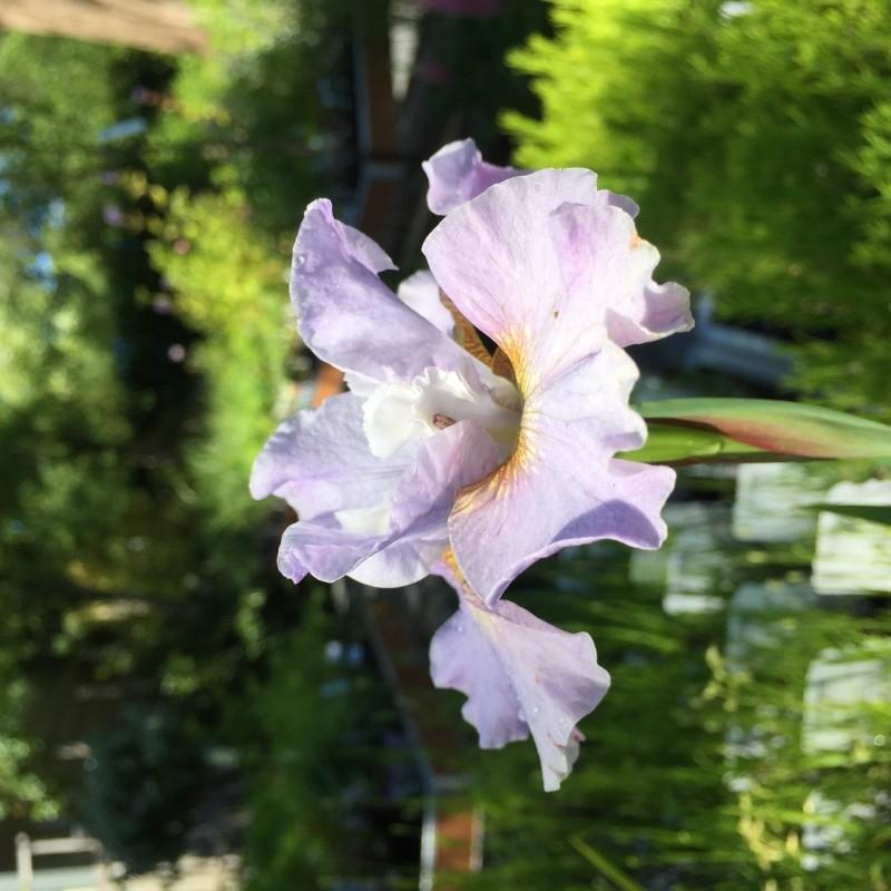 Iris siberica 'Pink Haze'