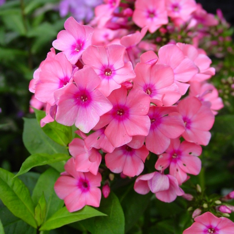 Phlox (P) 'Windsor'
