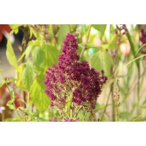 Salvia nemorosa 'Schwellenburg'