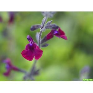 Salvia greggii 'Nachtvlinder'