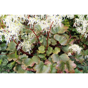 Saxifraga cortusifolia 'Rubrifolia'