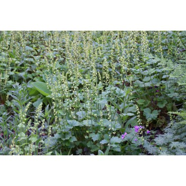 Tellima grandiflora 'Rubra'