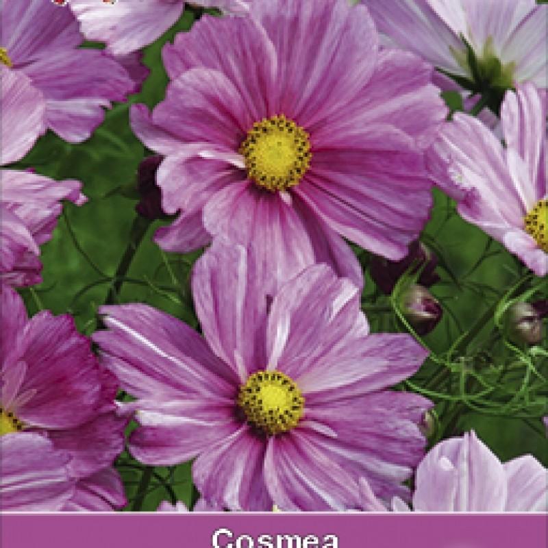 Cosmos bipinnatus 'Rosetta'