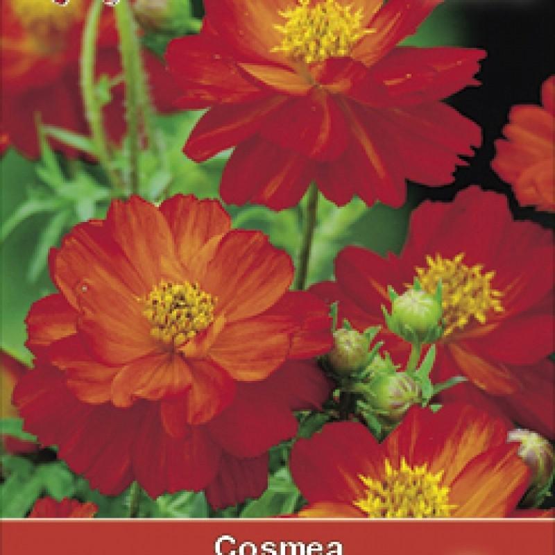 Cosmos suphureus 'Brightness Red'