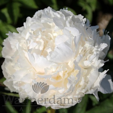 Paeonia 'Brother Chuck'