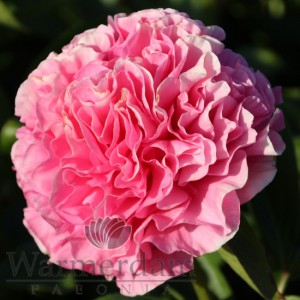 Paeonia 'Carnation Bouquet'