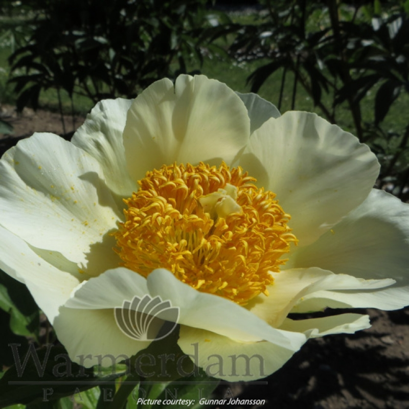 Paeonia 'Moonrise'