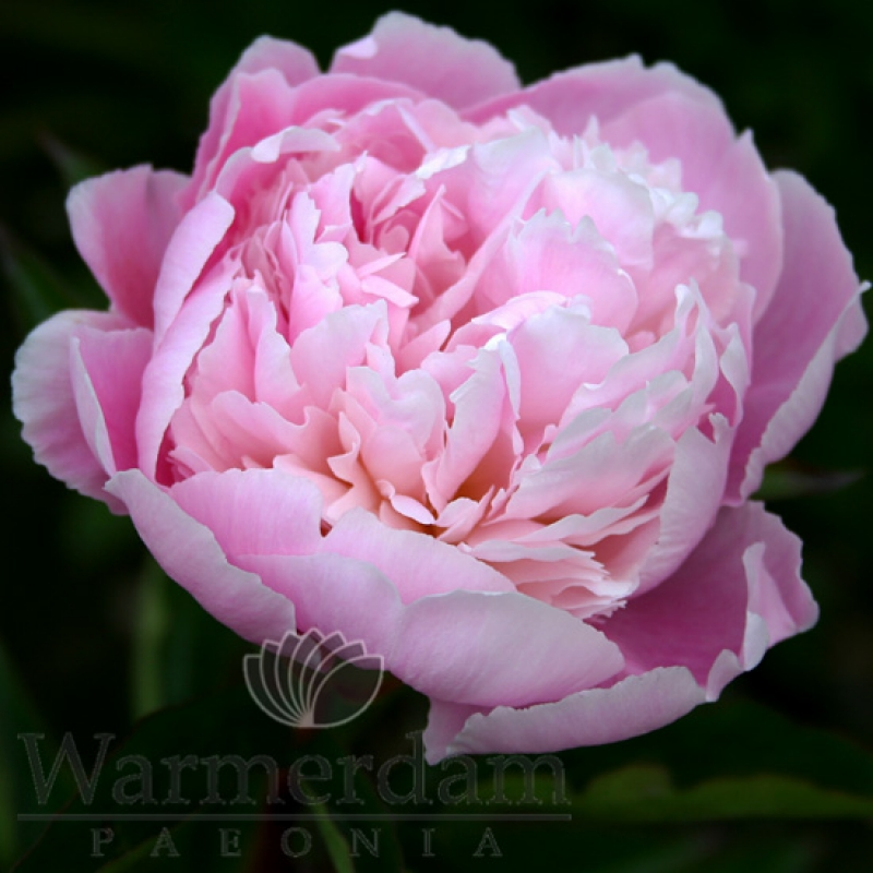 Paeonia 'Pink Pearl'