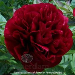 Paeonia 'Red Satin'