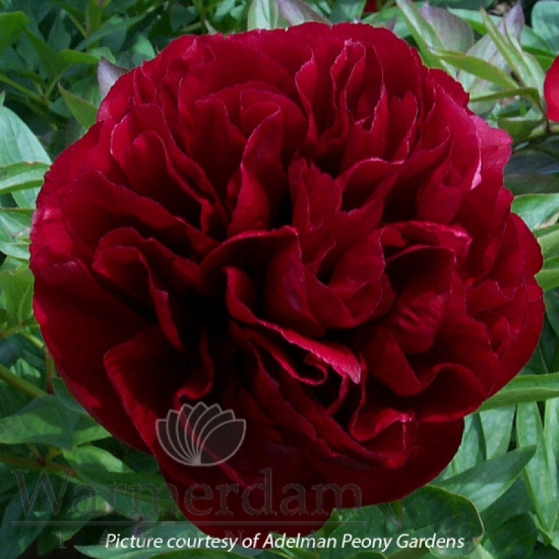 Paeonia 'Red Satin'