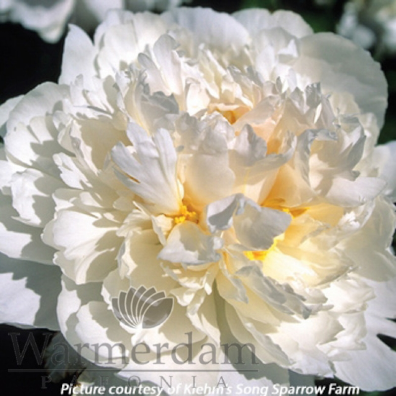 Paeonia 'Steve's Choice'