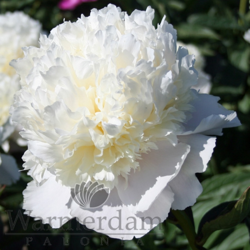 Paeonia 'White Charm'