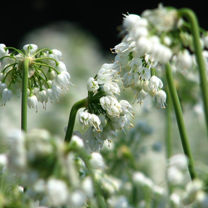 Allium cernuum 'White Master'