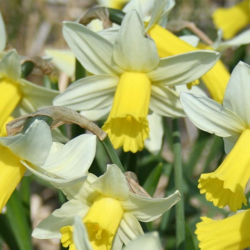 Narcissus 'Ibis'
