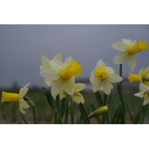 Narcissus 'Perky'