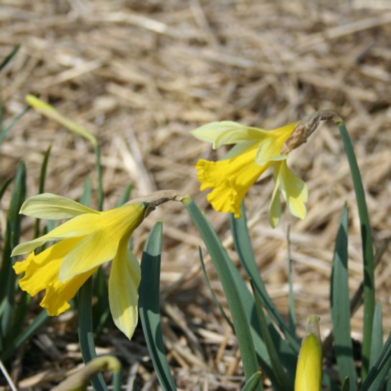 Narcissus gayi