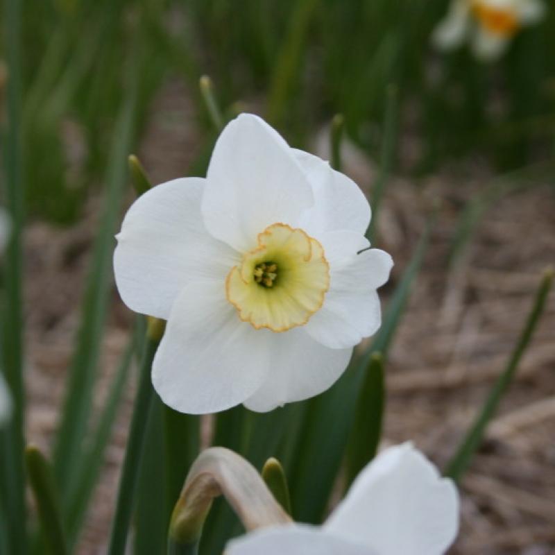 Narcissus 'Dell Chapel'