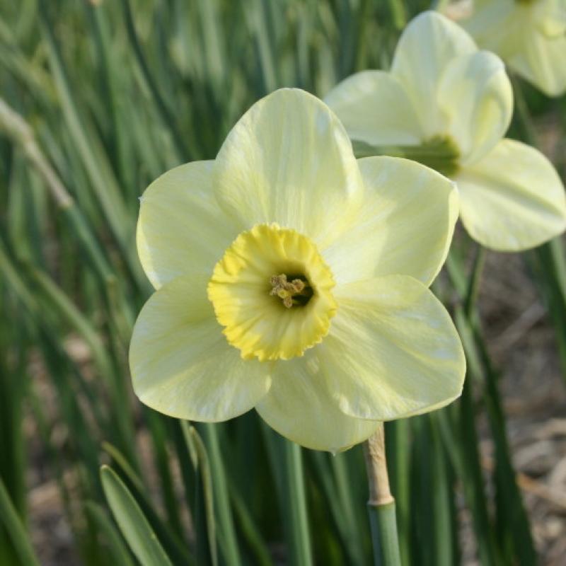 Narcissus 'Earthlight'