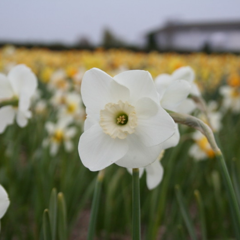 Narcissus 'Glen Cassley'