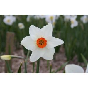 Narcissus 'Enniskillen'