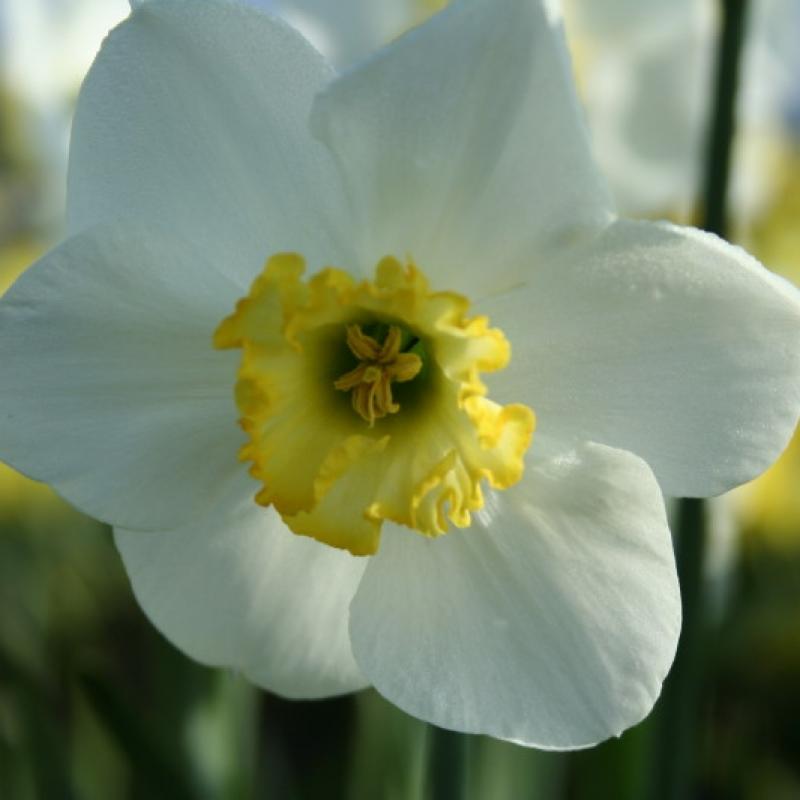 Narcissus 'Nehalem'