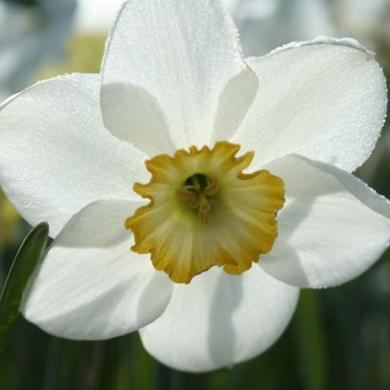 Narcissus 'Rimmon'