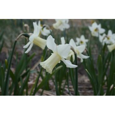 Narcissus 'Cazique'