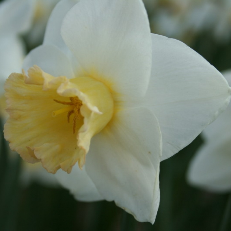 Narcissus 'Polar Sunset'