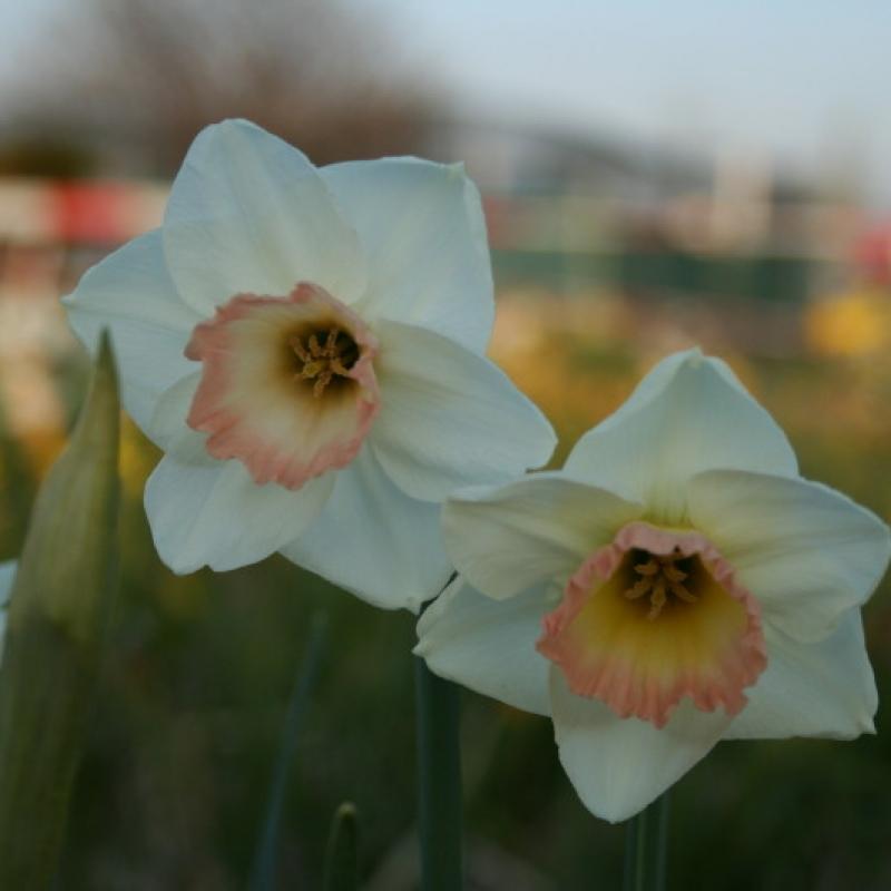 Narcissus 'Rimski'