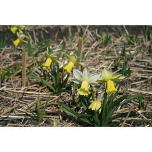 Narcissus 'Ouzel'