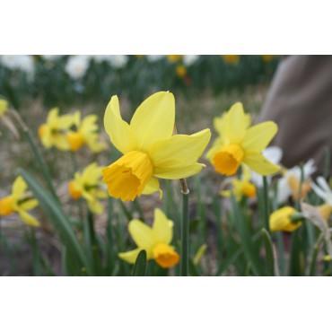 Narcissus 'Chickadee'