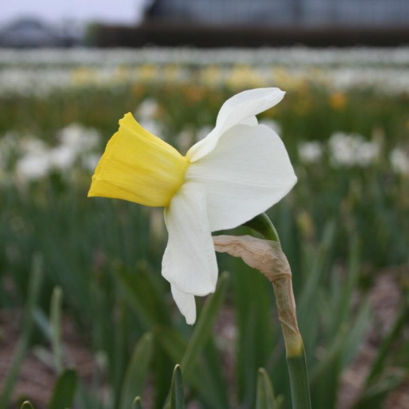 Narcissus 'Parterre'