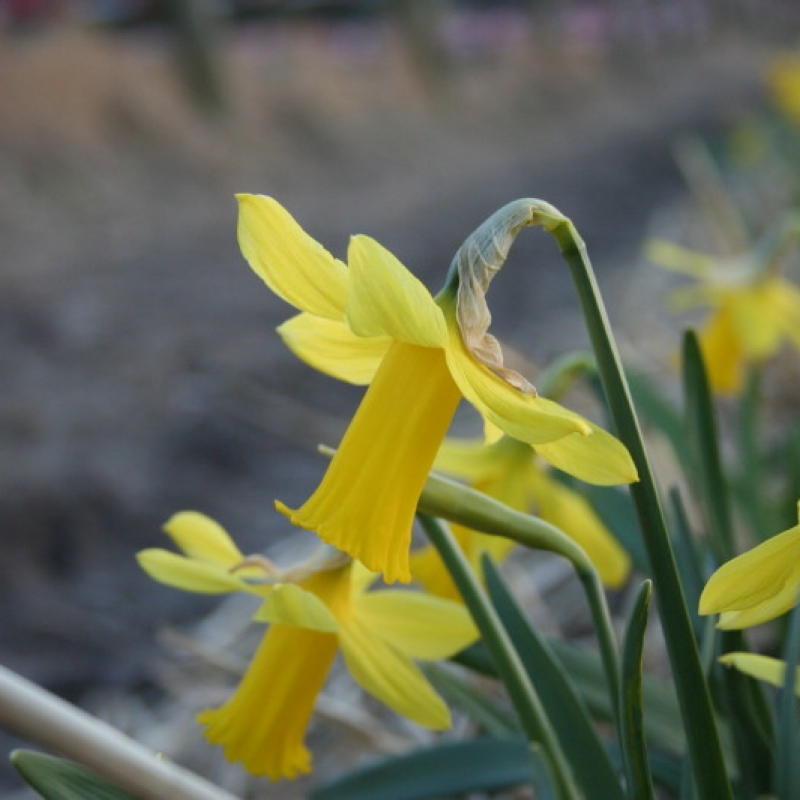 Narcissus 'Cornet'