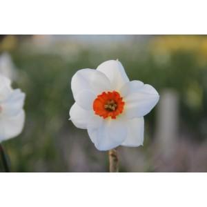 Narcissus 'Matapan'