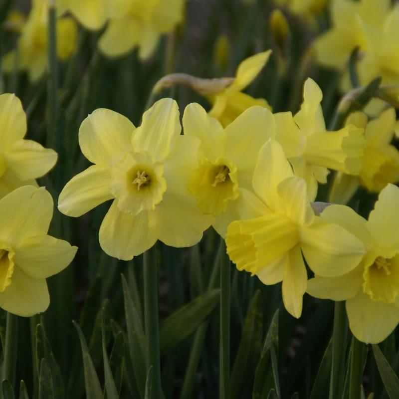 Narcissus 'Rushlight'
