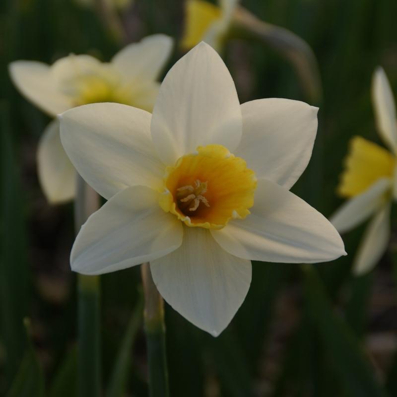 Narcissus 'Suhaili'