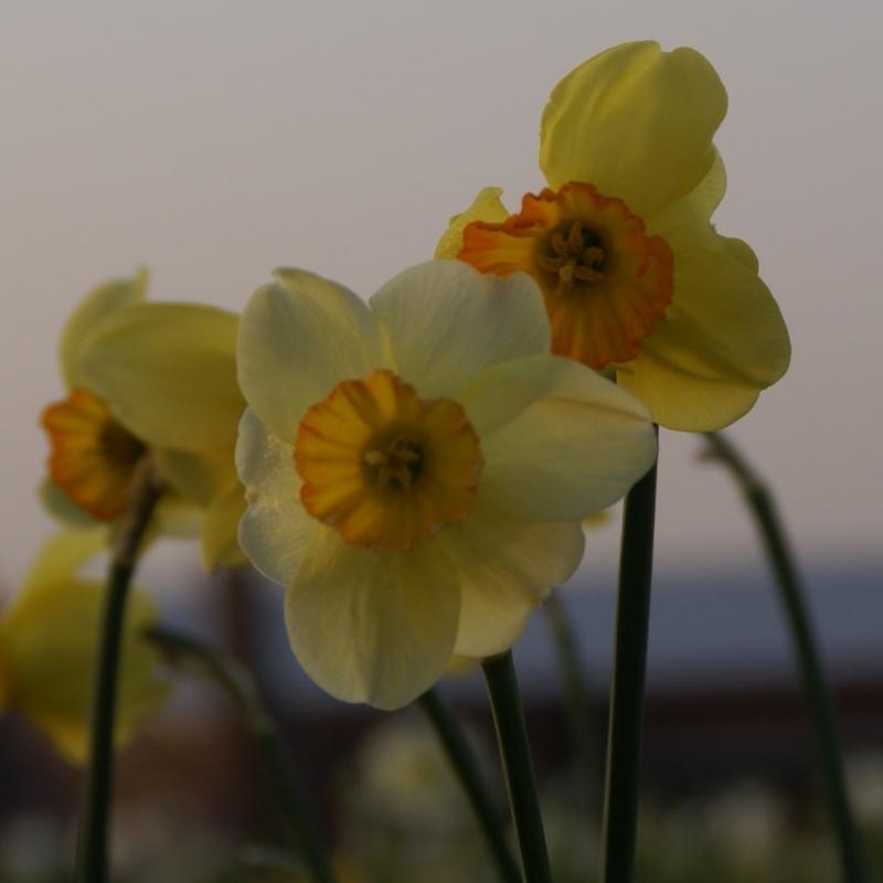 Narcissus 'Whang Hi'