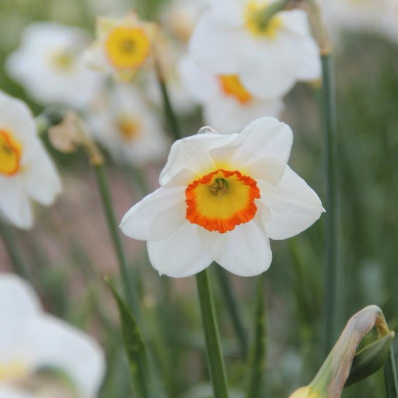 Narcissus 'Trident'